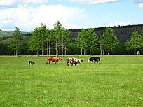 牧场吃草的三河牛