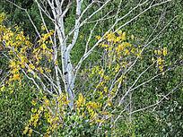 额尔古纳湿地白桦树