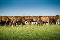 呼伦贝尔草原上的骏马