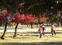 秋到枫树林