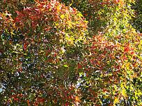 秋深色愈浓