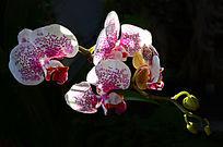 白色斑点蝴蝶兰