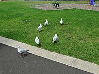 户外草地白色海鸥