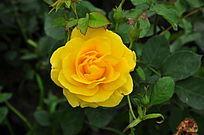 少见黄玫瑰