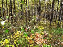 原始林秋季植被
