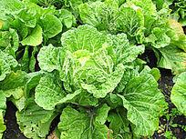 种植的大白菜