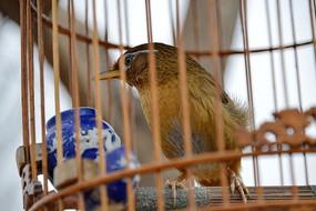 笼中画眉鸟