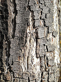 白桦树干纹理