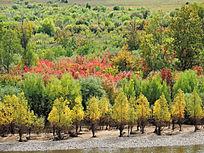 额尔古纳五彩林