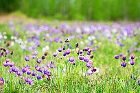 草原蓝花盛开风光