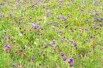 开满蓝花的草场