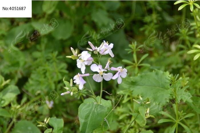 二月兰图片及其种植方法图片