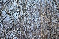 树枝间的大喜鹊需要仔细看