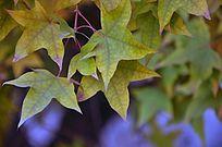 微黄的枫叶