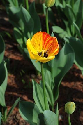 红黄相间的郁金香