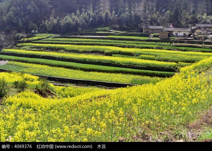 油菜田图片