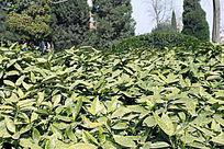 一大片绿叶子