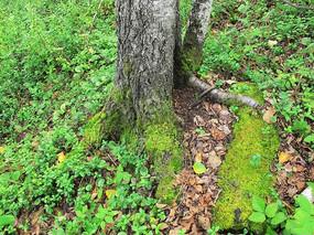 树根苔藓植被