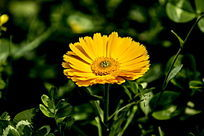 黄色小雏菊