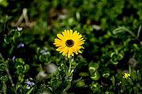 黄色小菊花图