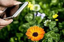 手机正在拍黄色小菊花