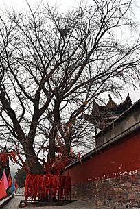 黄华寺院银杏古树