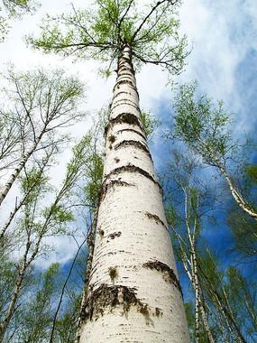 直插云霄的白桦树