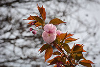 粉红色的桃花
