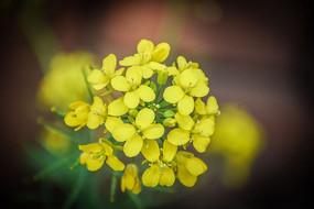 油菜花黄色花朵