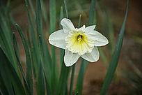 白色黄心兰花