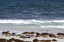 大海上翱翔的银鸥