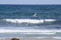 大海上飞翔的银鸥