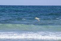 大海上展翅翱翔中的银鸥