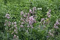 大兴安岭野生花卉 白鲜