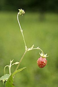 大兴安岭野生浆果 东方草莓