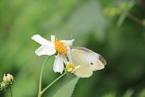 蝴蝶和白花