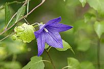 蓝色的桔梗花