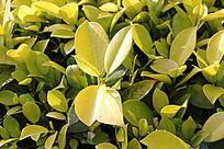 绿叶植物特写