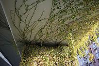 天桥上的爬山虎植物