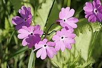 野生花卉 迎春花