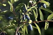 野生浆果 蓝靛果忍冬