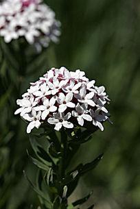 野生植物 狼毒花