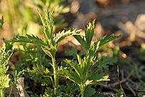 野生植物 蜇麻子