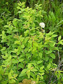 野生植物 绣线菊
