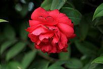 绽放的大红色花朵