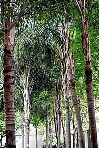 棕榈树小树林