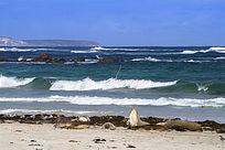 澳洲袋鼠岛海岛边上睡觉的海狮