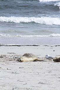 澳洲海狮和银鸥