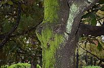 长满青苔的树