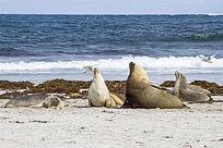 大海边上的海狮